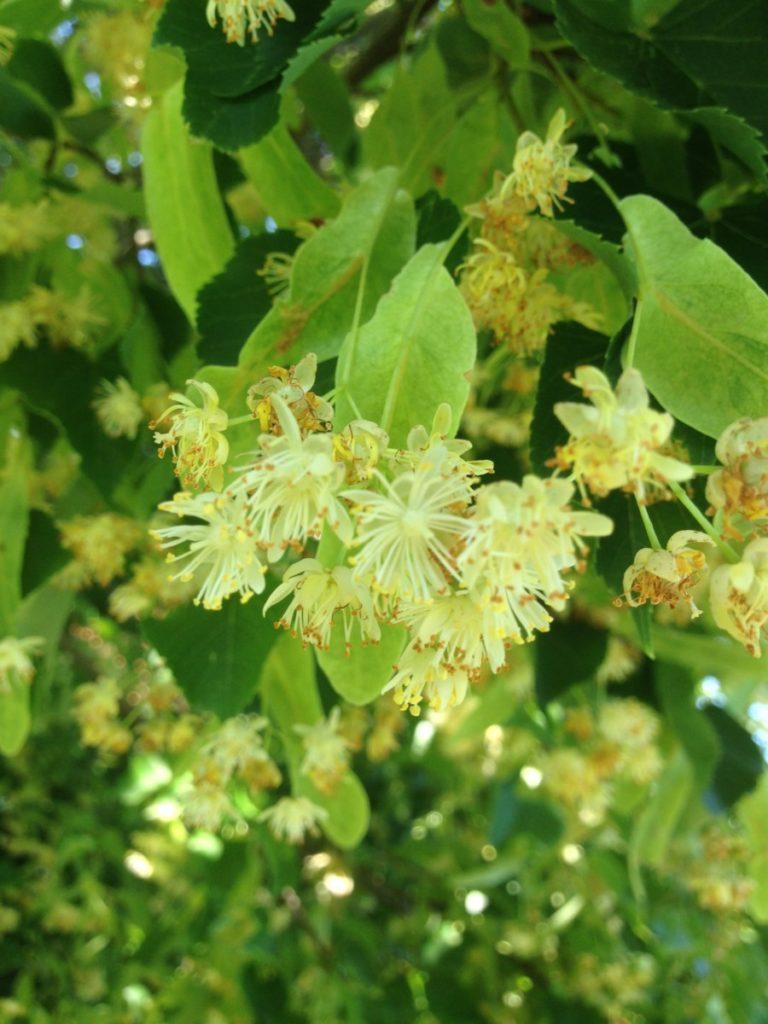 Lindenblüte