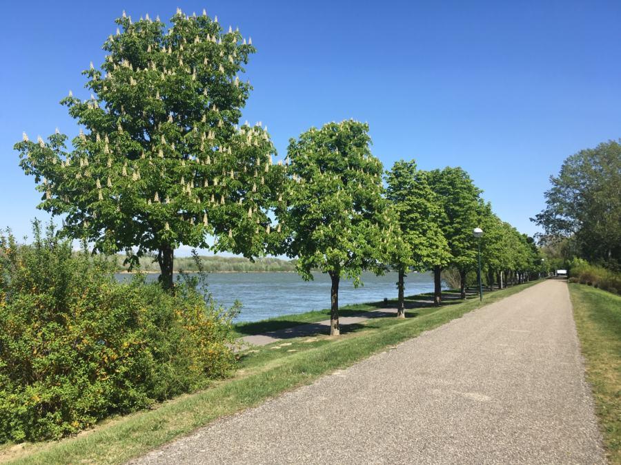 stattliche Kastanien an der Donau